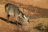 Waterbuck at waterhole