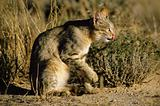 African wild cat