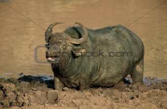 African buffalo in mud