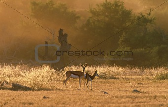 Springbok in the evening
