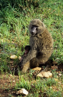 Baboon with young