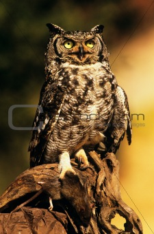 Eagle owl with prey