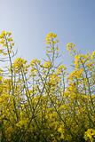 Oilseed or canola plant