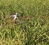 herons watering amongst sugar cane
