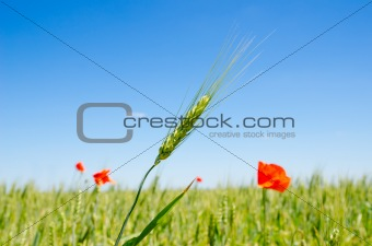green barley and red poppy
