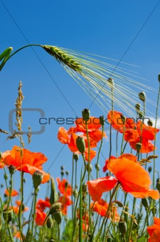 red poppy and green barley