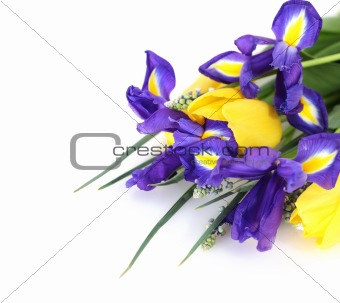 Beautiful dark purple iris flower, tulips and muscari