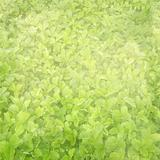 background with the field of strawberry leaves