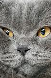 Closeup photo of a quiet British cat