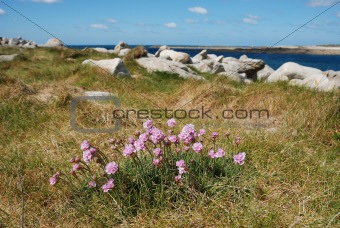 Armeria maritima pink sea growing on a dune