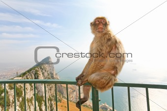 Gibraltar Monkey posing on the fence