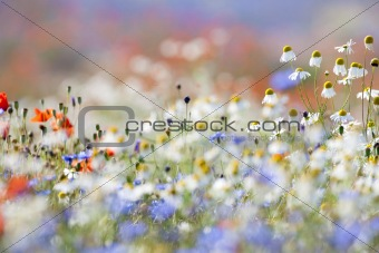 abundance of blooming wild flowers on the meadow at springtime