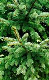prickly needles of a coniferous tree