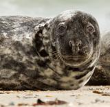 A grey seal