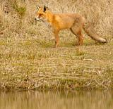 A fox in Holland