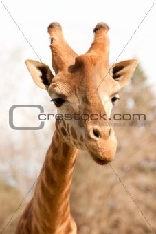 Closeup of a beautiful giraffe