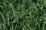 Droplets on kentucky bluegrass