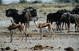 Antelope and wildebeest