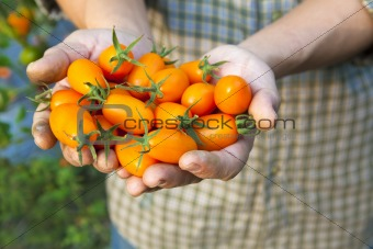 hand holding fresh small tomato