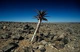 Tree in a rock desert