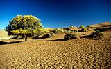 Tree in bloom in namib desert