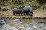 Hippos at river