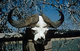 Buffalo skull