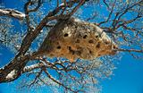 Nest of weaver bird