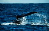 Humpback whale near coral bay