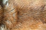 Golden dog fur