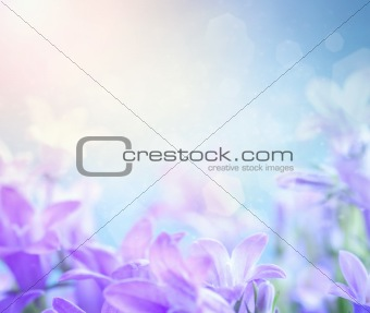 Campanula floral background