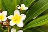 Lan Thom White flowers