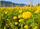 field of golden marigolds
