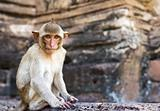 Portrait of young rhesus macaque monkey
