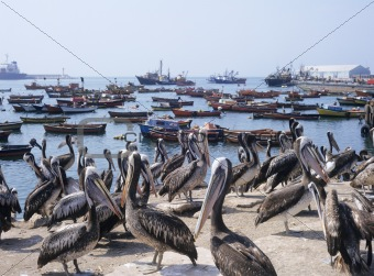 Pelicans on harbour