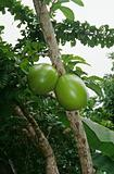 Gourds growing on tree