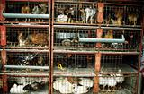 Chickens and ducks in cages