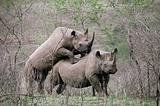 Two rhinos mating