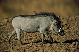 Warthog