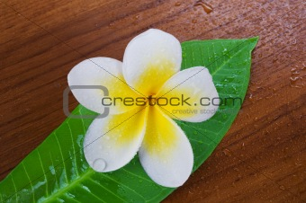 Frangipani Spa Flower