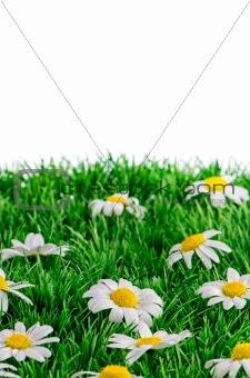 Daisies on grass