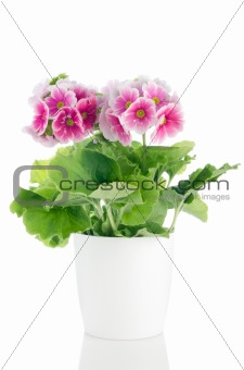 Beautiful pink primrose flowers