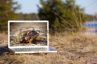 Outdoor laptop and mating frogs