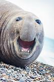 Aggressive sea elephant