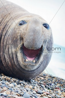 Aggressive sea elephant