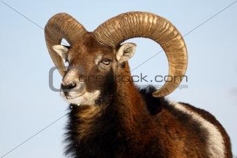 mouflon trophy
