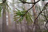 Water drops on pine-needle