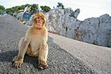 Gibraltar Monkey sitting on the road