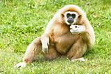 Lar Gibbon eating