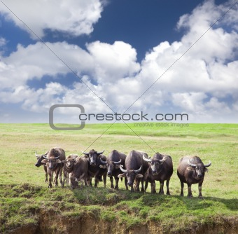 Group of cows  on green meadow with  cloudy
